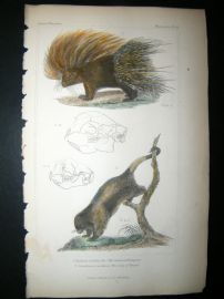 Cuvier C1835 Antique Hand Col Print. Common Porcupine, Couiy Of Brazil, 42